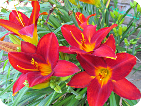 Sunday Lily